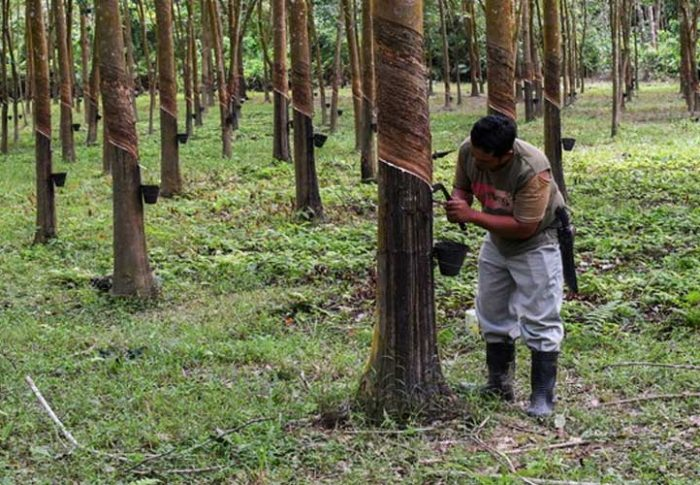 How FAMA Can Help Rubber Tappers In Difficult Times.